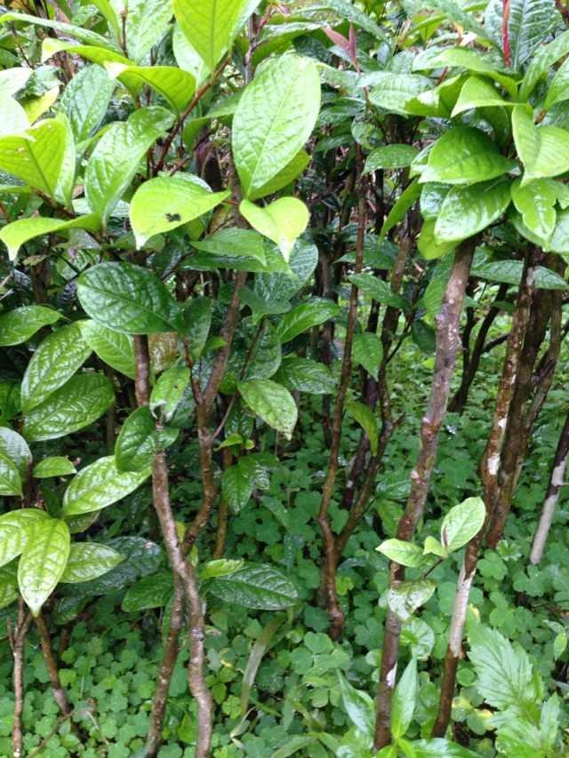 金花茶种苗