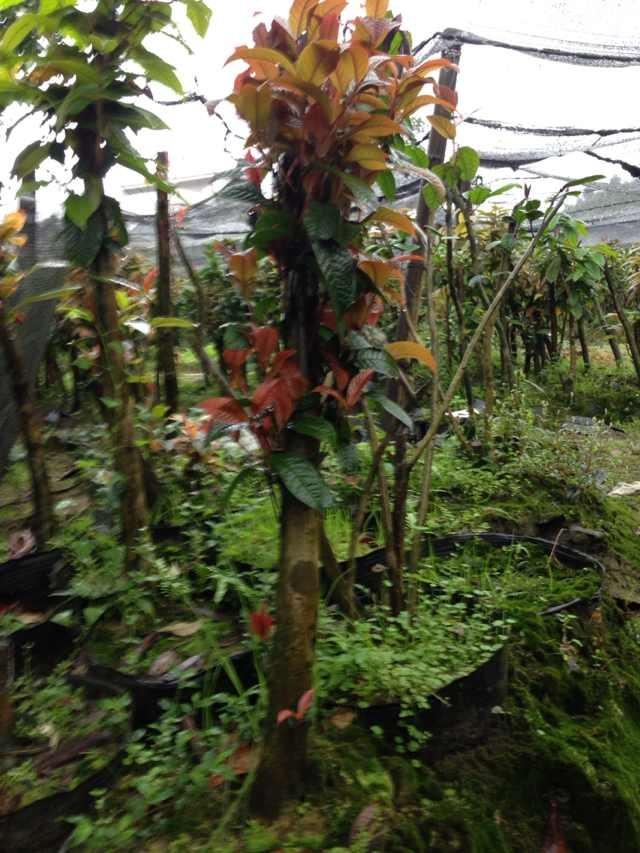 金花茶种植苗