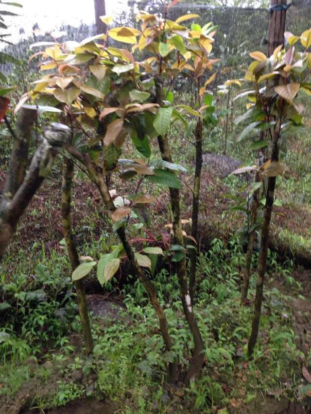 金花茶种树苗